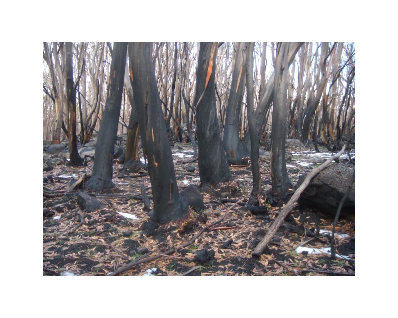 Lake Mountain Leadbeater's Possum habitat burnt in the 2009 bushfires. Photo: Pam Miskin.