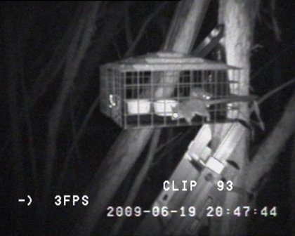 Leadbeater's Possums visiting the feeders at night on LBP-cam. Photo: Parks Victoria.