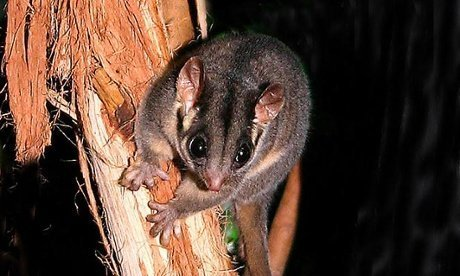 leadbeaters-possum-the-guardian-image-2014