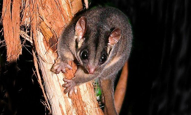leadbeaters-possum-image